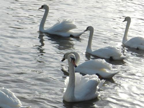 Swans Image